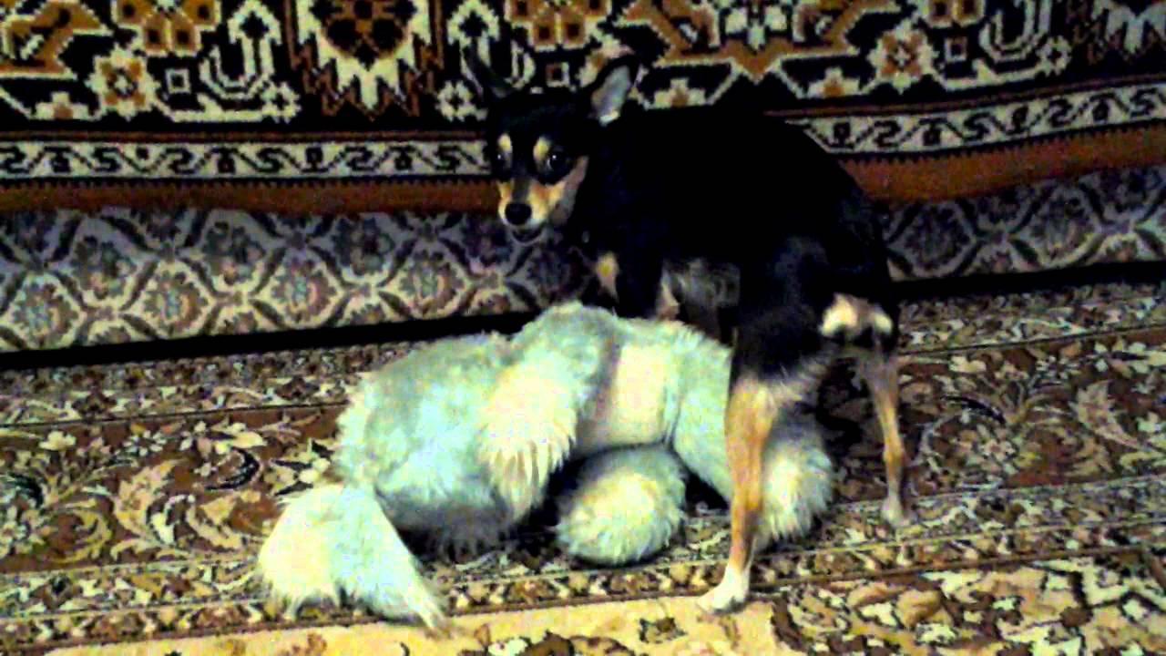 Купить щенка той-терьера в Москве. 8-905-546-66-92 РКФ. - YouTube