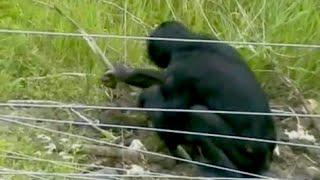 Bonobos demonstrate caveman skills