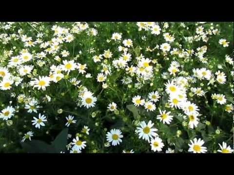 обои широкоформатные полевые цветы