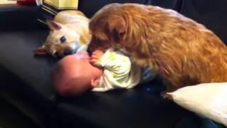 3ヶ月の赤ちゃんを襲うノーフォークテリアの湘太.