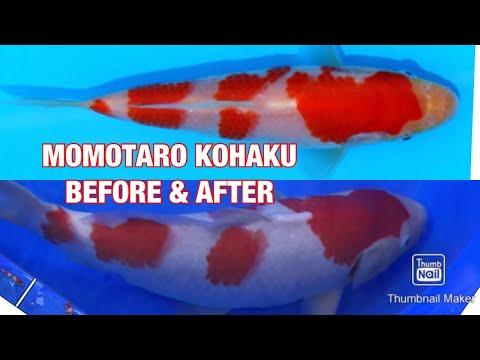 Momotaro Kohaku Koi Fish Growth Before & After