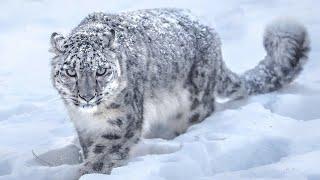 Невероятный снежный барс – истинный царь горы Скрытность грация и постоянный риск – ирбис в деле