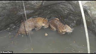 В Индии спасли двух леопардов, провалившихся в колодец