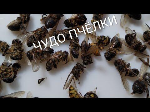 #ПЧЕЛИНЫЙ ПОДМОР(народный рецепт)