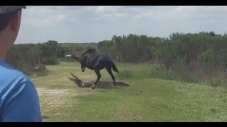 Horse Battles Gator Near Gainesville