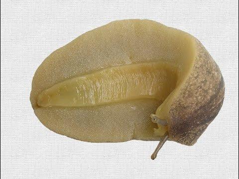 Leidyula floridana (Leidy, 1851) Florida Leatherleaf Slug