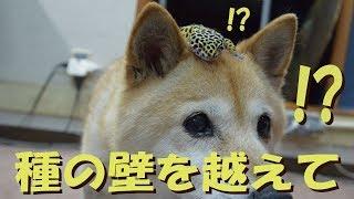柴犬とヒョウモントカゲモドキは「種の壁」を越えて仲良くなれるのか......