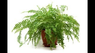 How to Propagate Boston Fern plant/How to divide fern plant!!!
