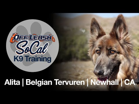 OffLeash SoCal - Off Leash Dog Training - Alita | Belgian Tervuren | Newhall | CA