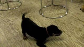 ゴールデンレトリバーと土佐犬の子犬との遊びです。 GoldenRetriever TO...