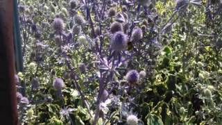 Video Sea holly Eryngium planum download MP3, 3GP, MP4, WEBM, AVI, FLV Juli 2018