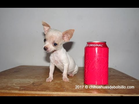 Tea Cup White Chihuahua tiny size dogs for sale