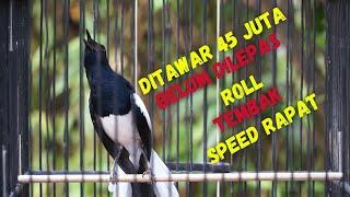 Kacer Gacor Isian Mewah! Roll Tembak Speed Rapat Buat Kacer Lain Auto Respon!