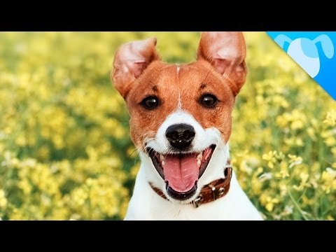 Jack russell terrier facts youtube - Jack russel queue coupee ...