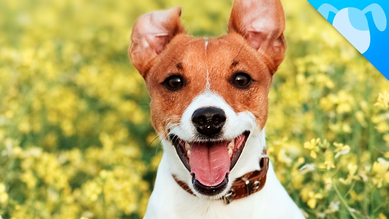 Jack Rus Terrier Facts