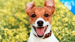 Video Jack Russell Terrier Facts download MP3, 3GP, MP4, WEBM, AVI, FLV November 2017