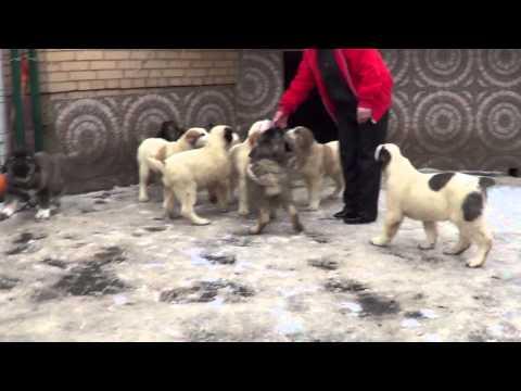 Щенки алабая и кавказская овчарка 2,5 месяца www.r-risk.ru +79262205603 Татьяна