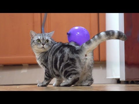 attaching-a-balloon-to-cats-[suri&noel]