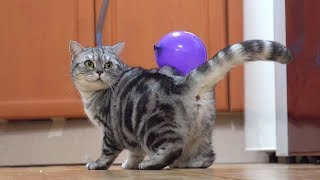 고양이에게 풍선혹 붙이기 Attaching  a Balloon to Cats [SURI&NOEL]