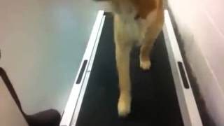 Dog Training In Maryland   Treadmill Training A 5 Month Old Golden Retriever