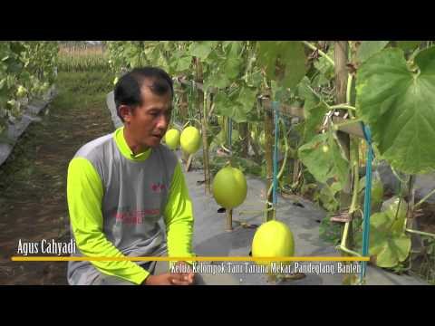 Uranus F1, Tren Baru Golden Melon Berdaging Orange