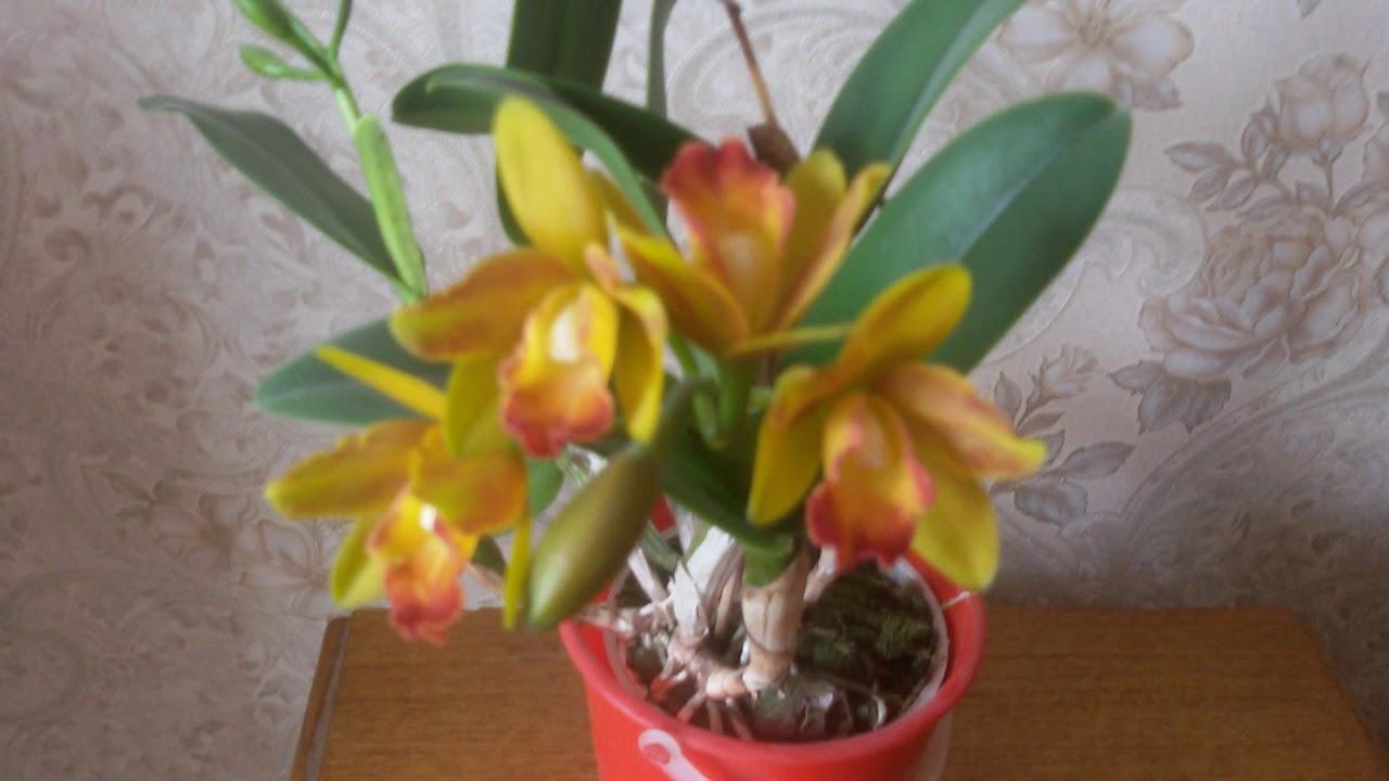 каттлея фото цветения