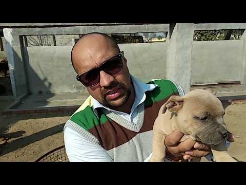 Pet Care - Breeding Expensive Breeds - Bhola Shola