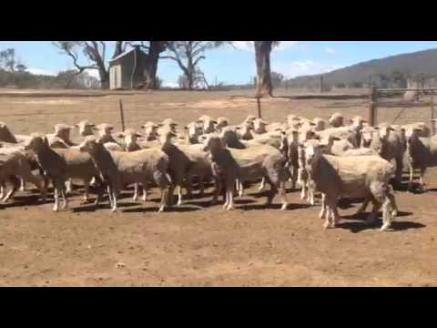 Narrangullen 2013 drop Merino Ewes