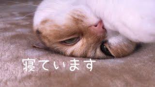 まどろむ猫 /   無防備なちょびです /   Lazy cat  life  / My cute cat Chobi.