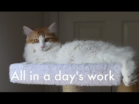 All in a Day's Work (Maine Coon Cat)