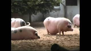 豬之歌 - 香香