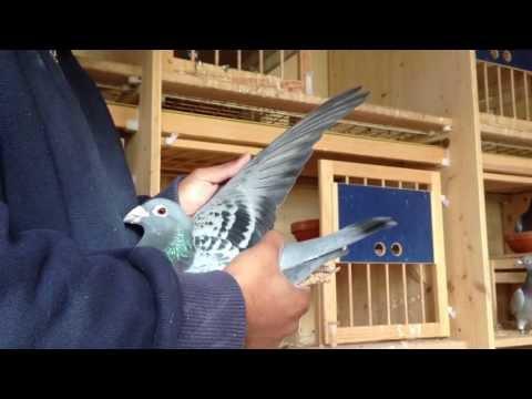 kuwait racing pigeons visit belguim part 3