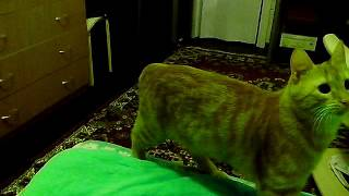 Смешной, рыжий, неутомимый кот