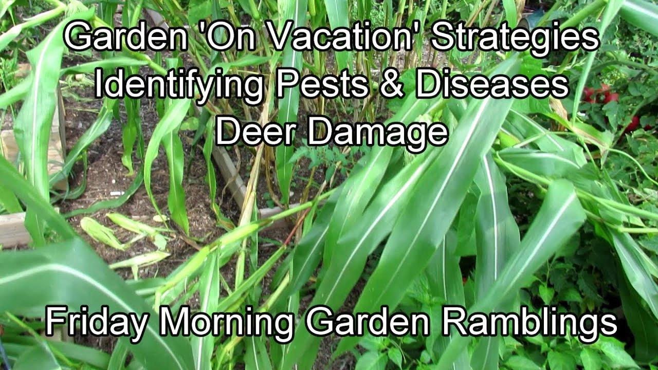 Garden 'On Vacation' Strategies, Identifying Problems, Deer Damage: FM Garden Ramblings & Tour E-3
