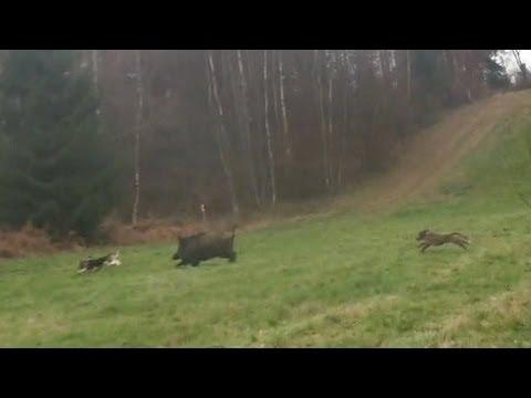 Chasse gros gibier Belgique partie 2/Belgian wild boar