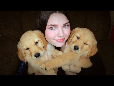 2 Golden Retrievers Puppies ~ ASMR ~