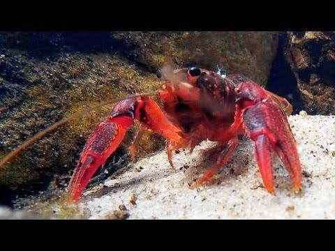 Sydney Crayfish (Euastacus australasiensis)