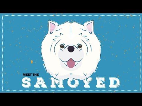 Breed Spotlight: the Samoyed