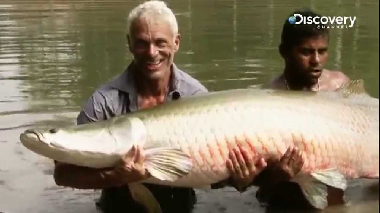 Arapaima   River Monsters - YouTube