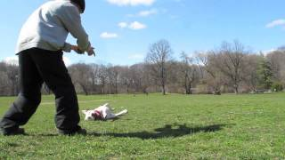 Practice Makes Perfect Dog Training Ny - Prospect Park Brooklyn - Cowboy The Pit Bull