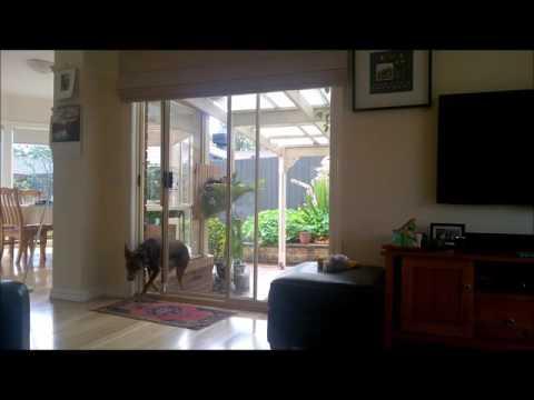 Cooper - Australian Kelpie