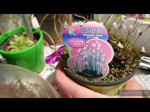 Насекомоядные растения. 食虫植物.Carnivorous plants.Utricularia.