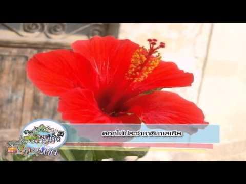 ครอบครัวข่าวเด็ก ช่วง Asean Weekly ตอน ดอกไม้ประจำชาติมาเลเซีย (26 ส.ค.57)