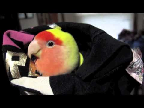 Cleo The Lovebird Talking Up A Storm