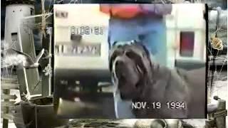 Породы собак Большой Неаполитанский Мастиф