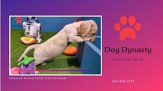Female Miniature Dachshund   Dog Dynasty