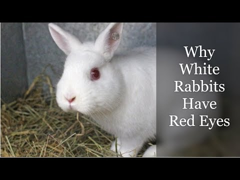 Why White Rabbits Have Red Eyes