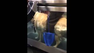 Golden Retriever Uses Underwater Treadmill
