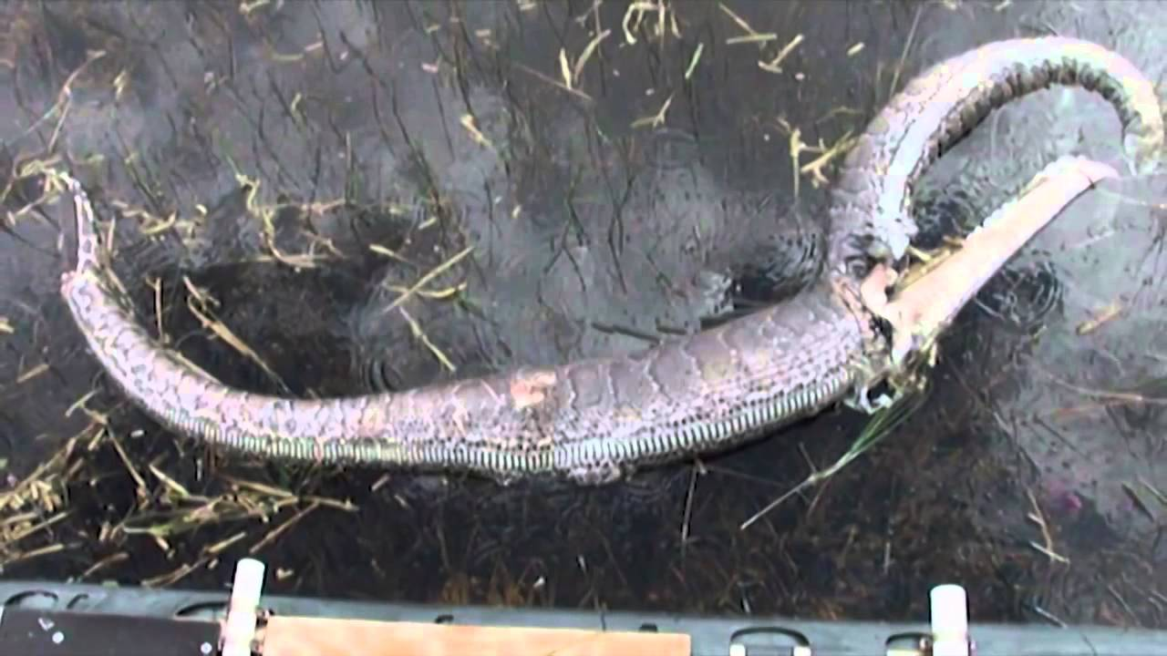 Snake Bursts After Eating Alligator Youtube