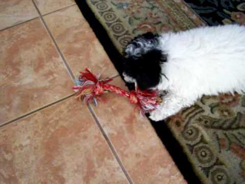 """My good friend's mini-poodle puppy called """"HOPE"""" playing"""